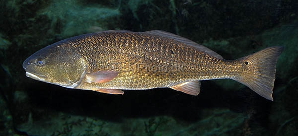 Red drum for Saltwater drum fish